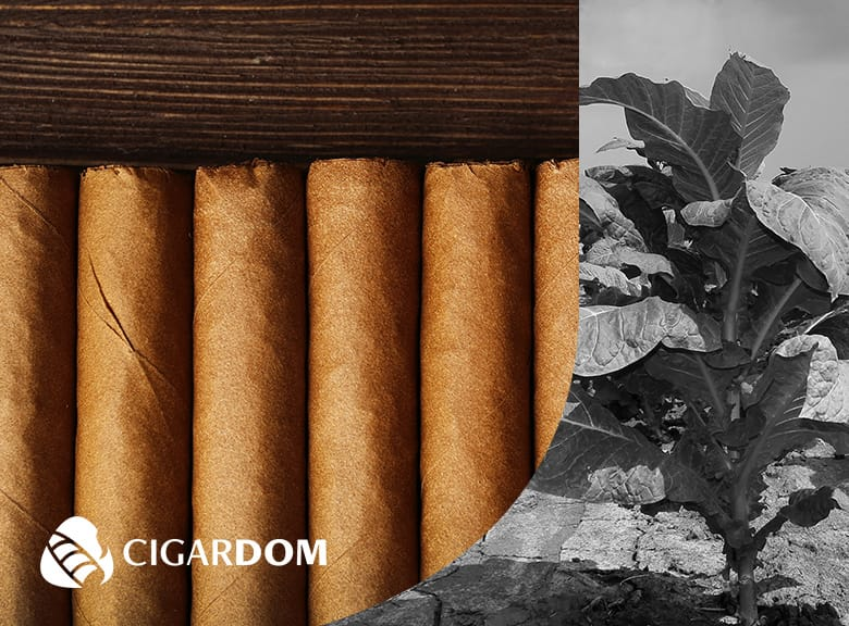Shade Grown vs Sun Grown Cigars